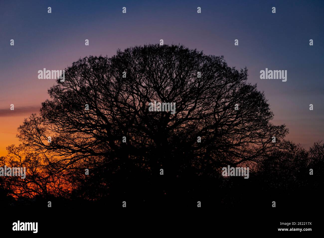 Oak tree in silhouette at dusk Stock Photo