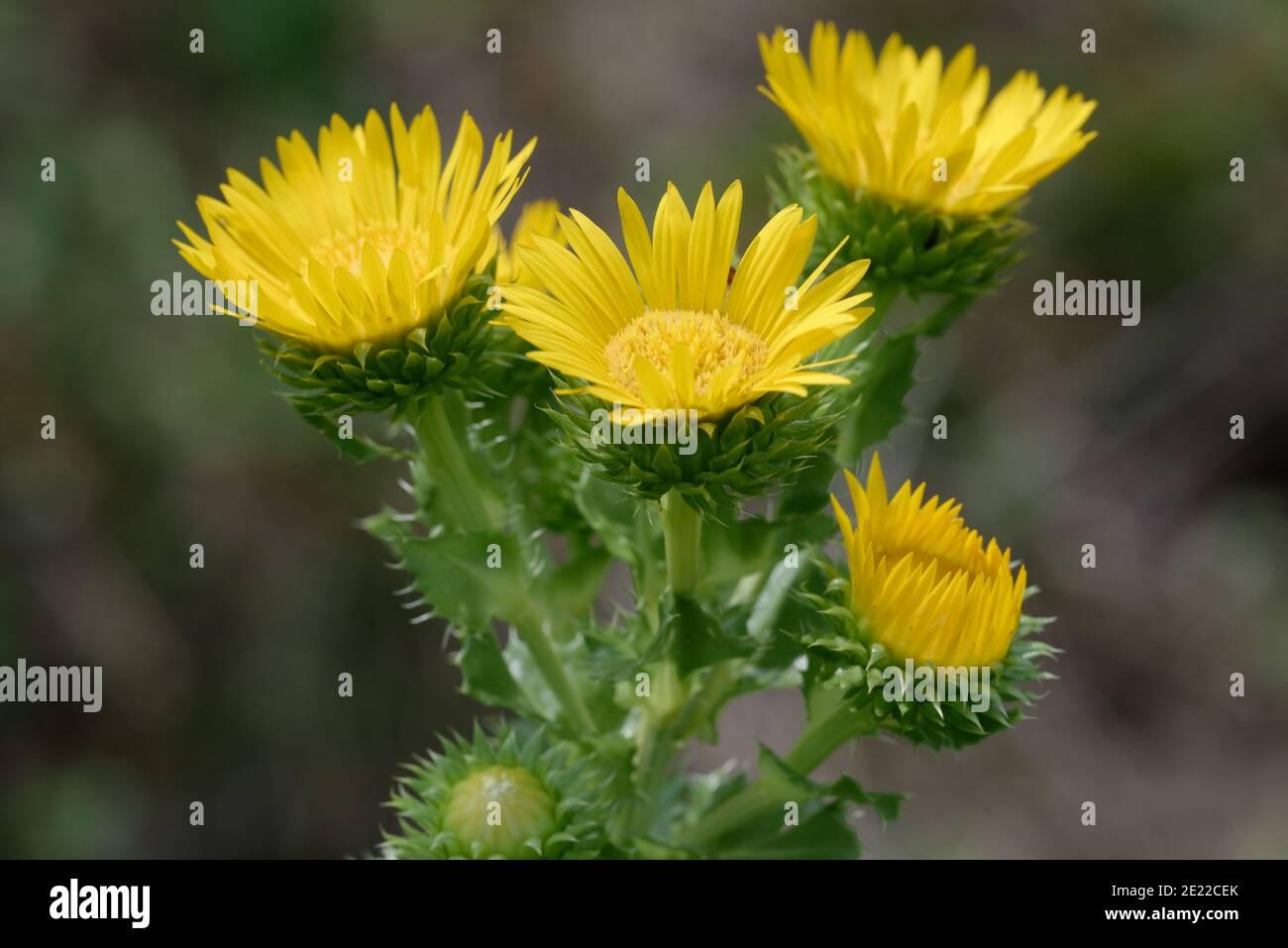 Saw-Leaf Daisy Stock Photo