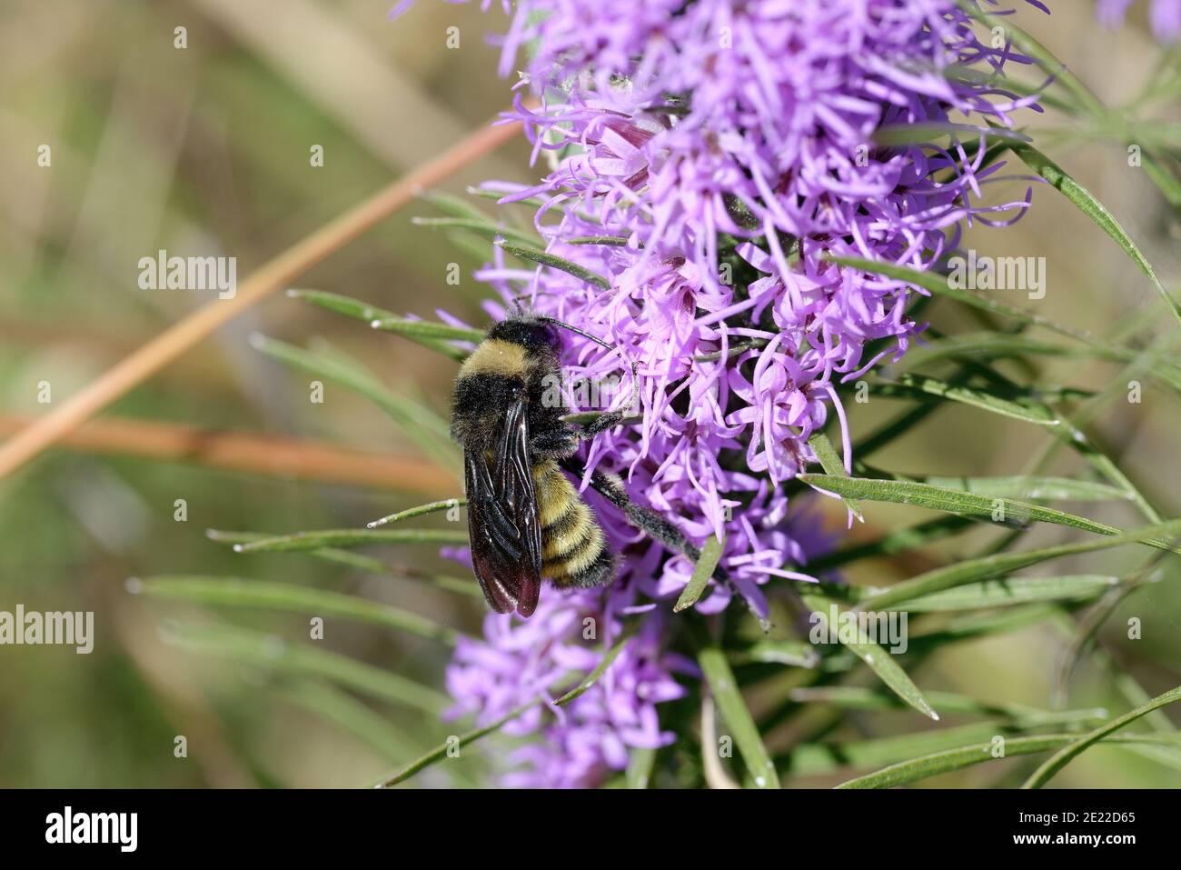 Gayfeather with Bumblebee Stock Photo