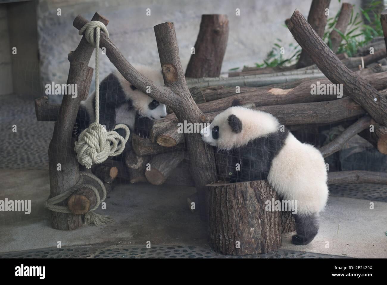 Berlin, 14.02.2020: Zwei Wochen nach dem Einzug der Pandas in ihr neues Gehege kehrt Normalität ein. Die Zwillinge Meng Xiang und Meng Yuan alias Pit Stock Photo