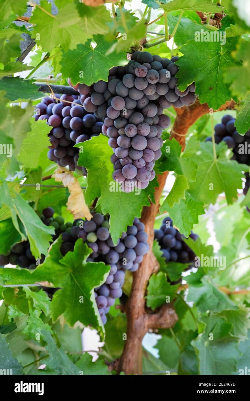Vitis Vinifera 'Dornfelder'. Grape 'Dornfelder'. Red eating / Wine Grapes, bunches growing on the vine, Stock Photo