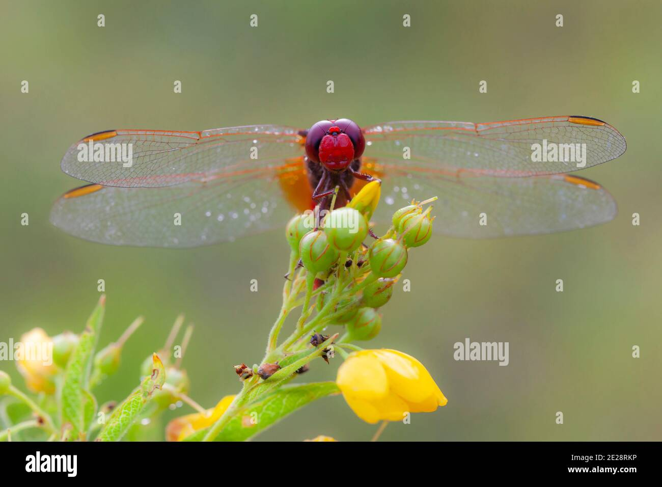 Broad Scarlet, Common Scarlet-darter, Scarlet Darter, Scarlet Dragonfly (Crocothemis erythraea, Croccothemis erythraea), male sits on an inflorescence Stock Photo