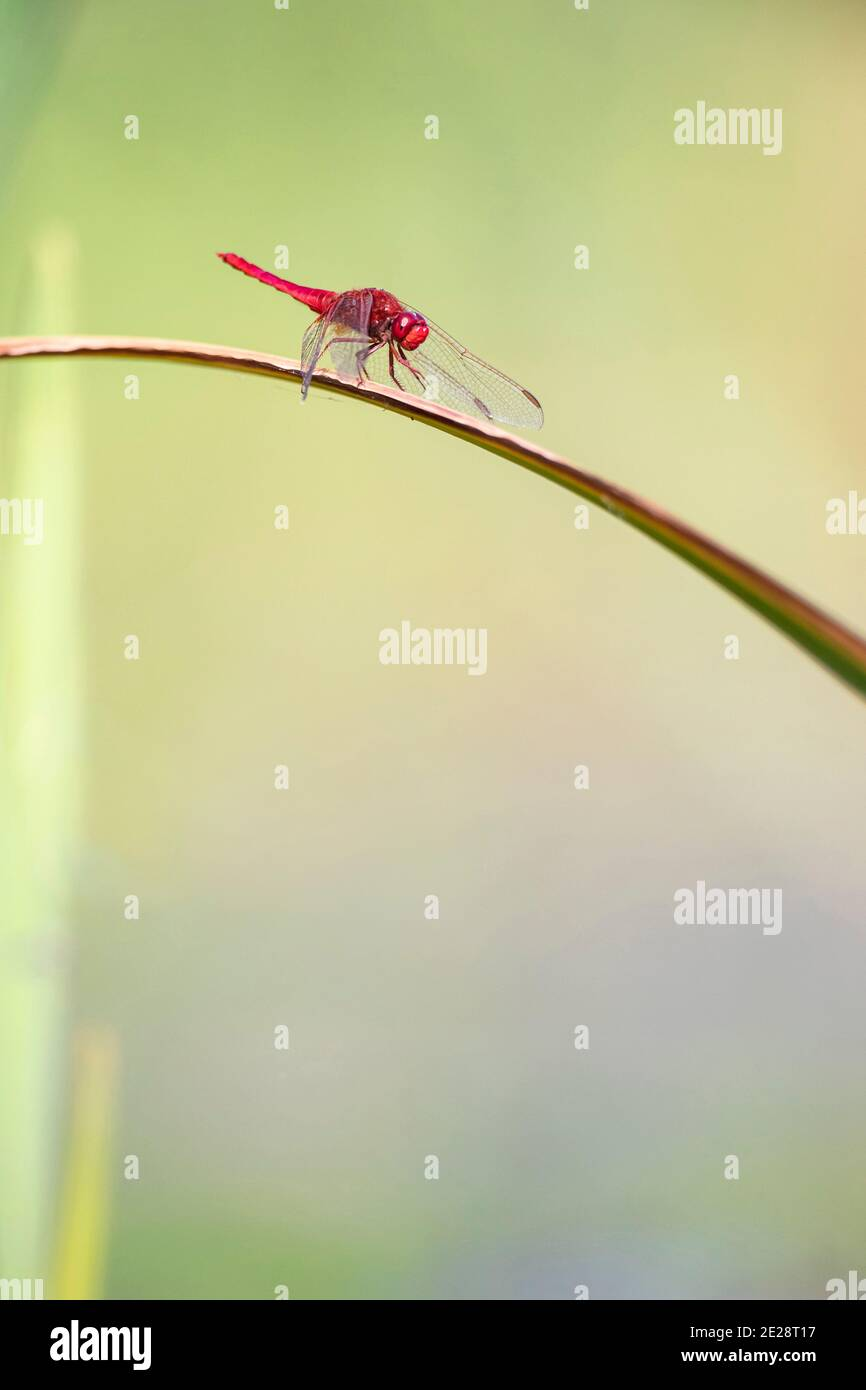 Broad Scarlet, Common Scarlet-darter, Scarlet Darter, Scarlet Dragonfly (Crocothemis erythraea, Croccothemis erythraea), male sits on a leaf, Germany, Stock Photo