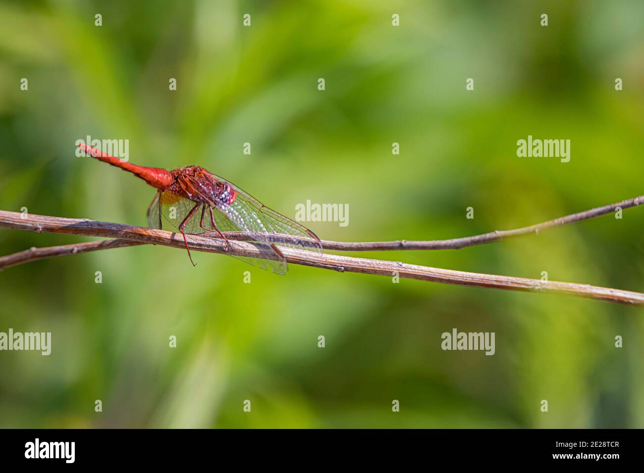 Broad Scarlet, Common Scarlet-darter, Scarlet Darter, Scarlet Dragonfly (Crocothemis erythraea, Croccothemis erythraea), male sits on a blade of grass Stock Photo