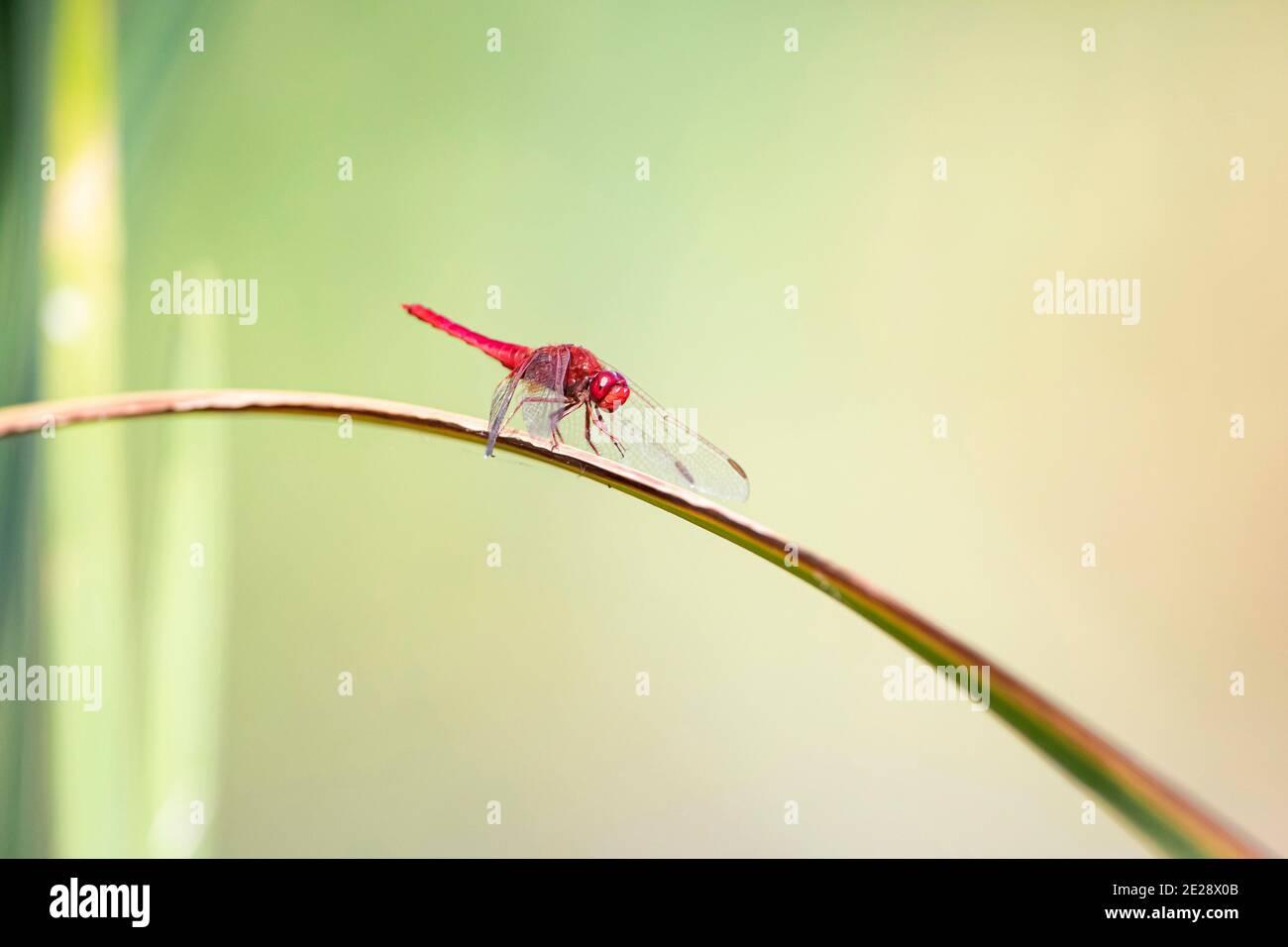 Broad Scarlet, Common Scarlet-darter, Scarlet Darter, Scarlet Dragonfly (Crocothemis erythraea, Croccothemis erythraea), male sits on a leaf, Germany, Stock Photo