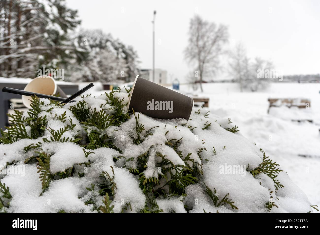 Coffee cups thrown out on green flower bed in winter, coffee straws thrown out on bush in winter next to a street cafe Stock Photo