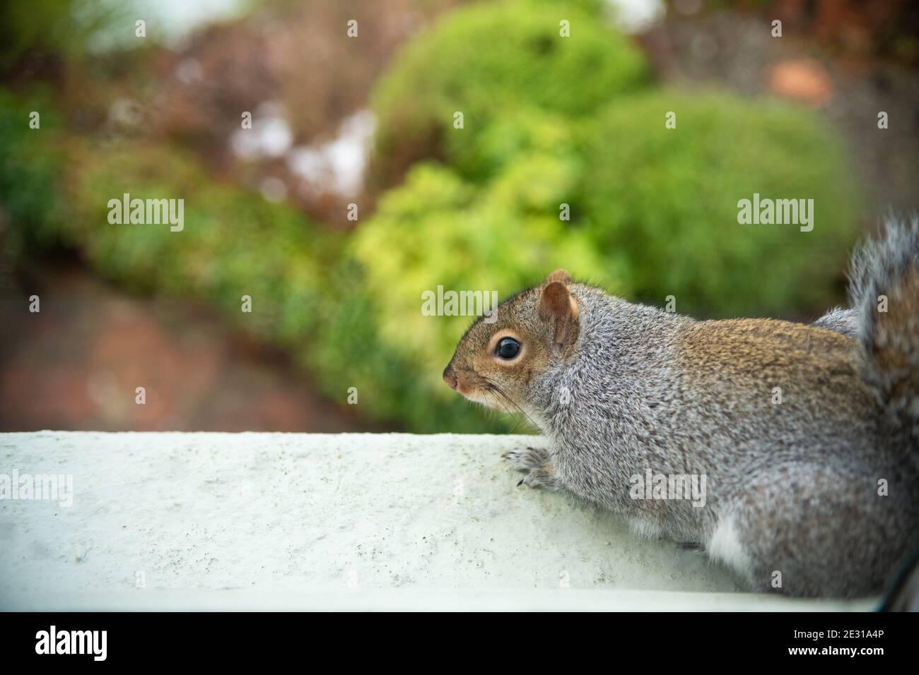 Grey Squirrel (Sciurus carolinensis) sitting on upstairs exterior windowsill looking down over garden (photograph taken from inside) - Scotland, UK Stock Photo