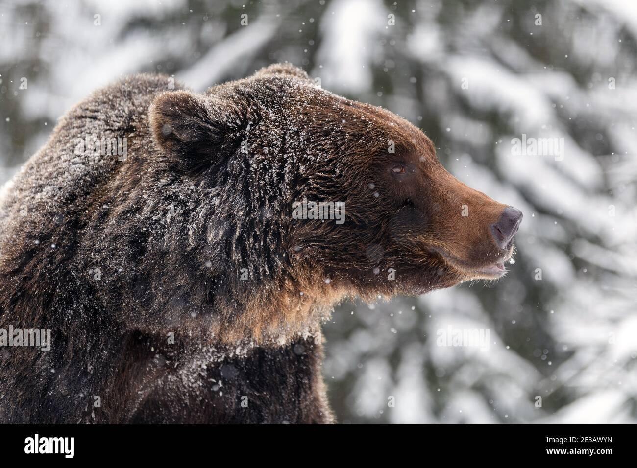 Close wild big brown bear portrait in winter forest. Danger animal in nature habitat. Big mammal. Wildlife scene Stock Photo