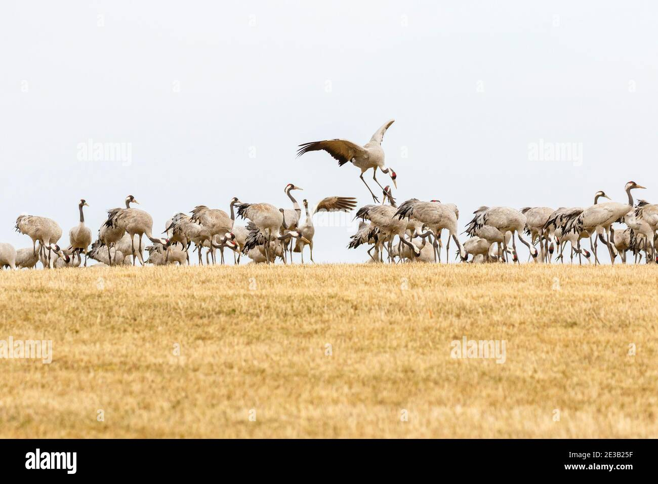 Cranes that landed on a stubble field in spring Stock Photo