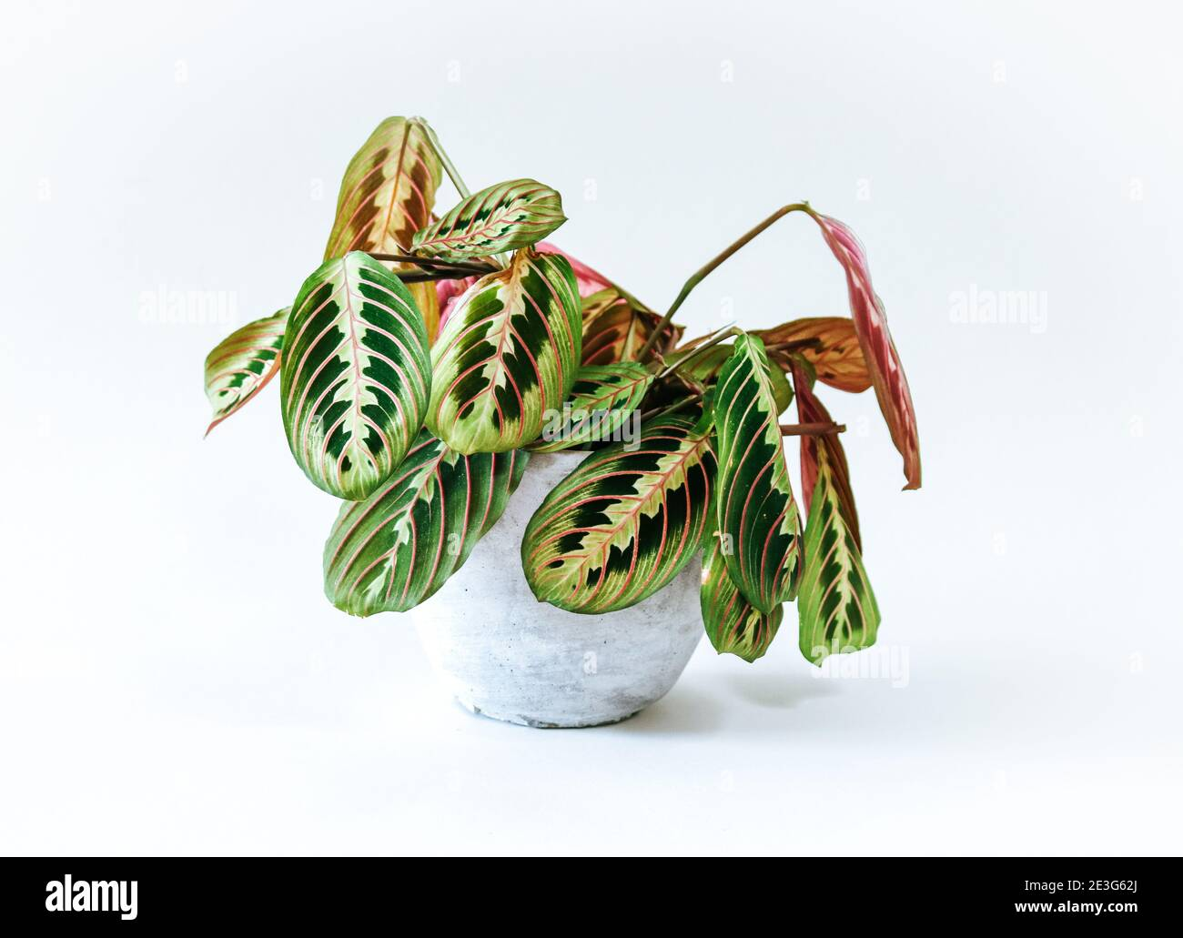 Prayer Plant High Resolution Stock Photography And Images Alamy