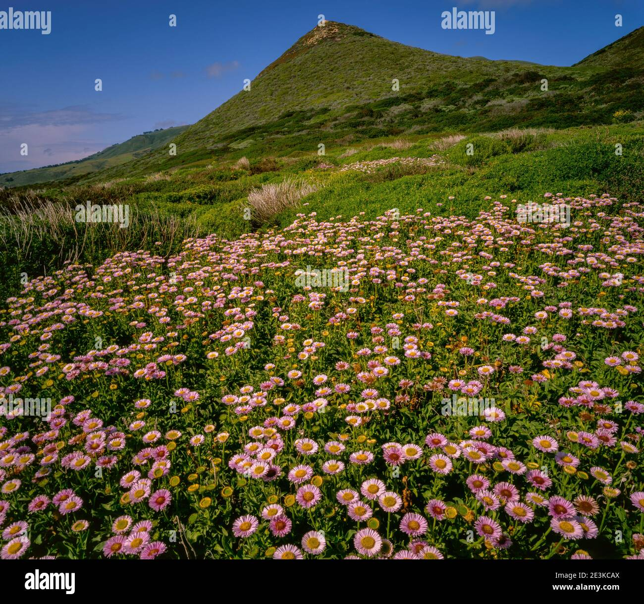 Seaside Daisies, Garrapata State Park, Monterey County, Big Sur, California Stock Photo