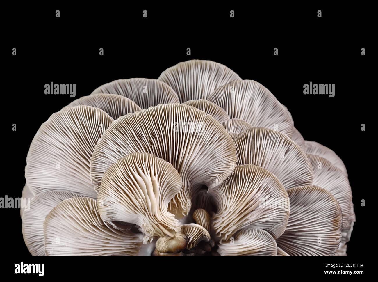 oyster mushroom isolated on black background Stock Photo