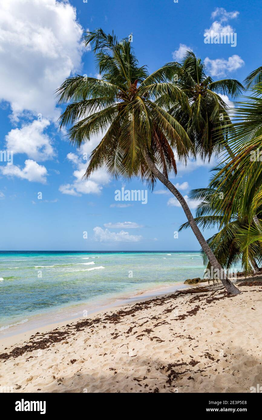 A palm tree on a sandy Caribbean beach, with the turquoise ocean behind Stock Photo