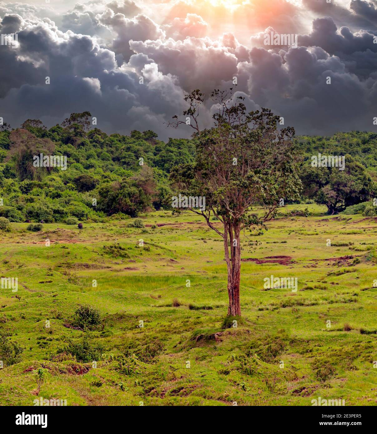 Trees in the forest of Kenya in a cloudy day Stock Photo