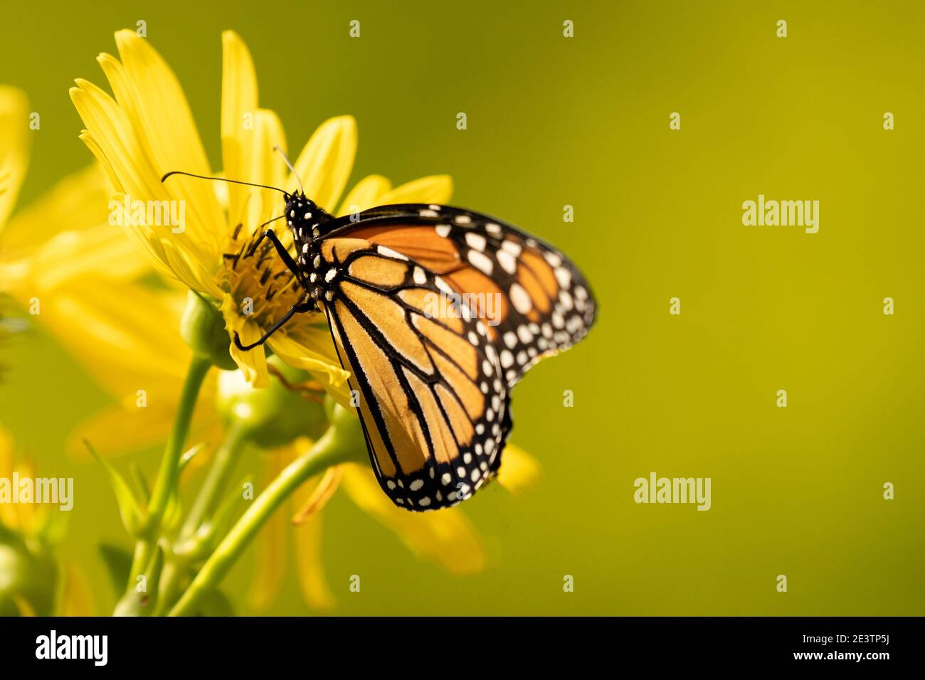 Monarch butterfly (Danaus plexippus) feeds on yellow flower. Monarch butterfly population moves closer to extinction Stock Photo