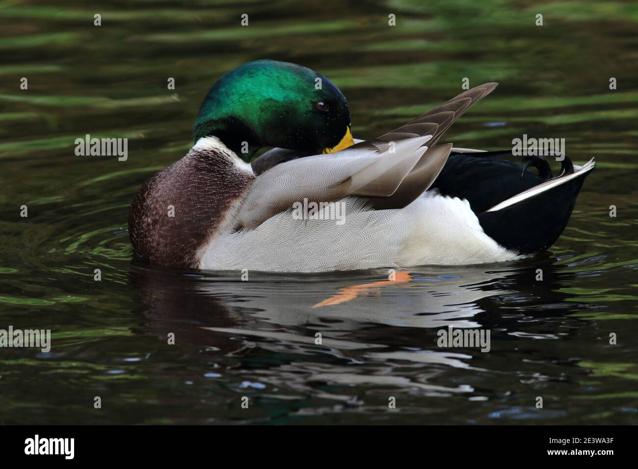 Anas platyrhynchos, a male Mallard duck preening on a pond with rippled rings of water around it. The bird green head and curly tail can be seen Stock Photo