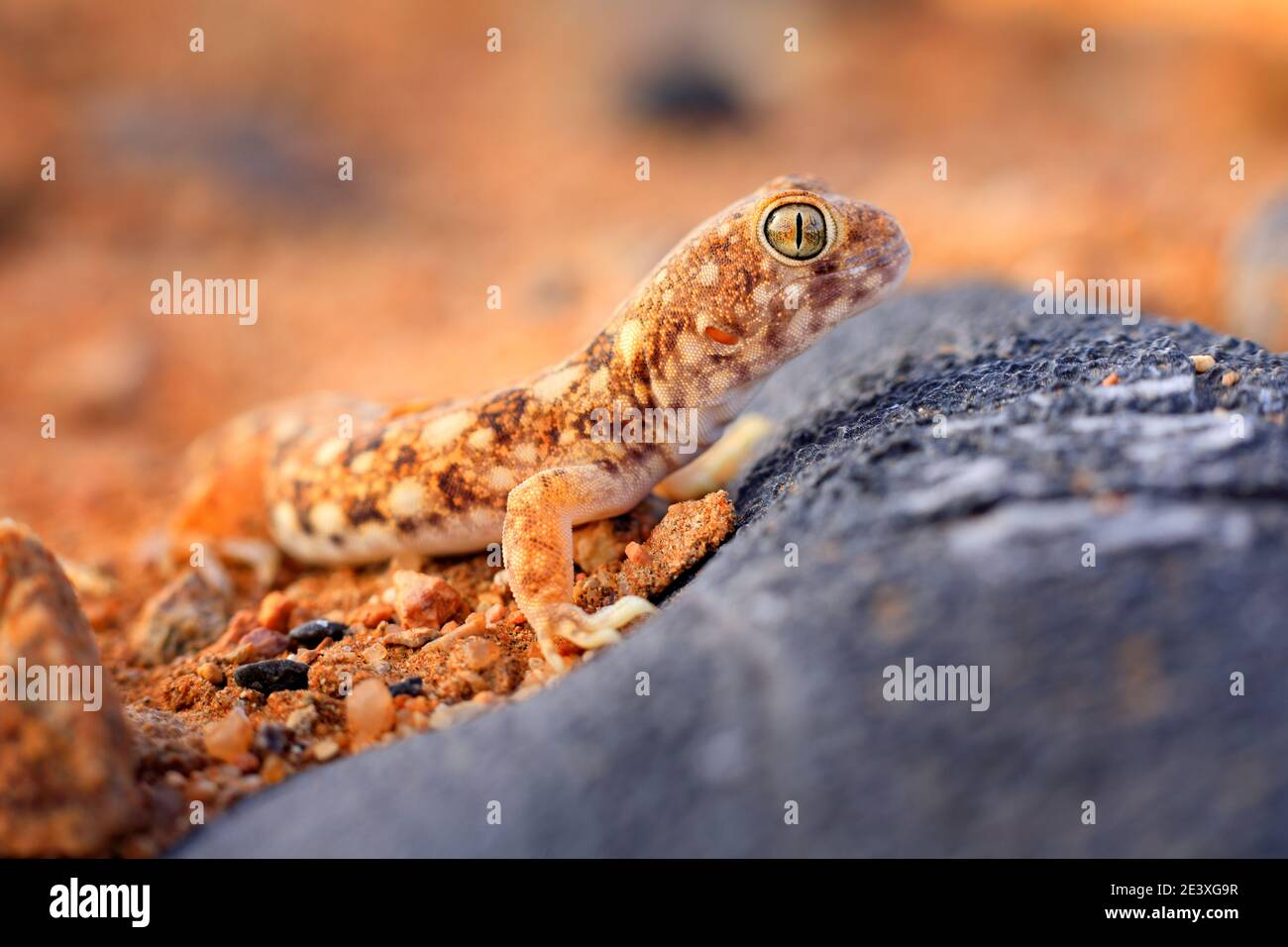 Lizard in Namibia desert with blue sky with clouds, wide angle. Wildlife nature. Gecko from Namib sand dune, Namibia. Pachydactylus rangei, Web-footed Stock Photo