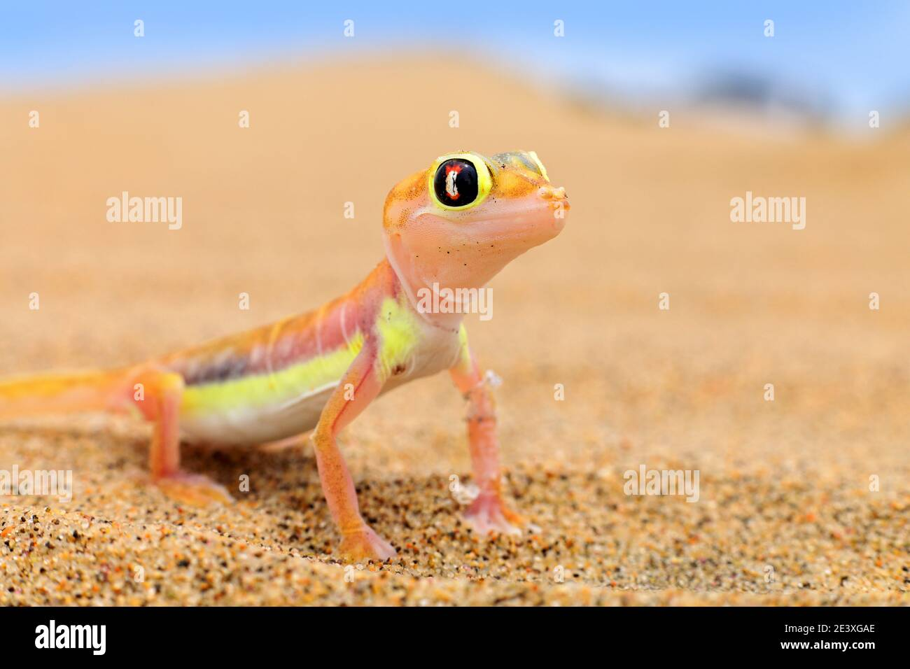 Gecko from Namib sand dune, Namibia. Pachydactylus rangei, Web-footed palmato gecko in the nature desert habitat. Lizard in Namibia desert with blue s Stock Photo