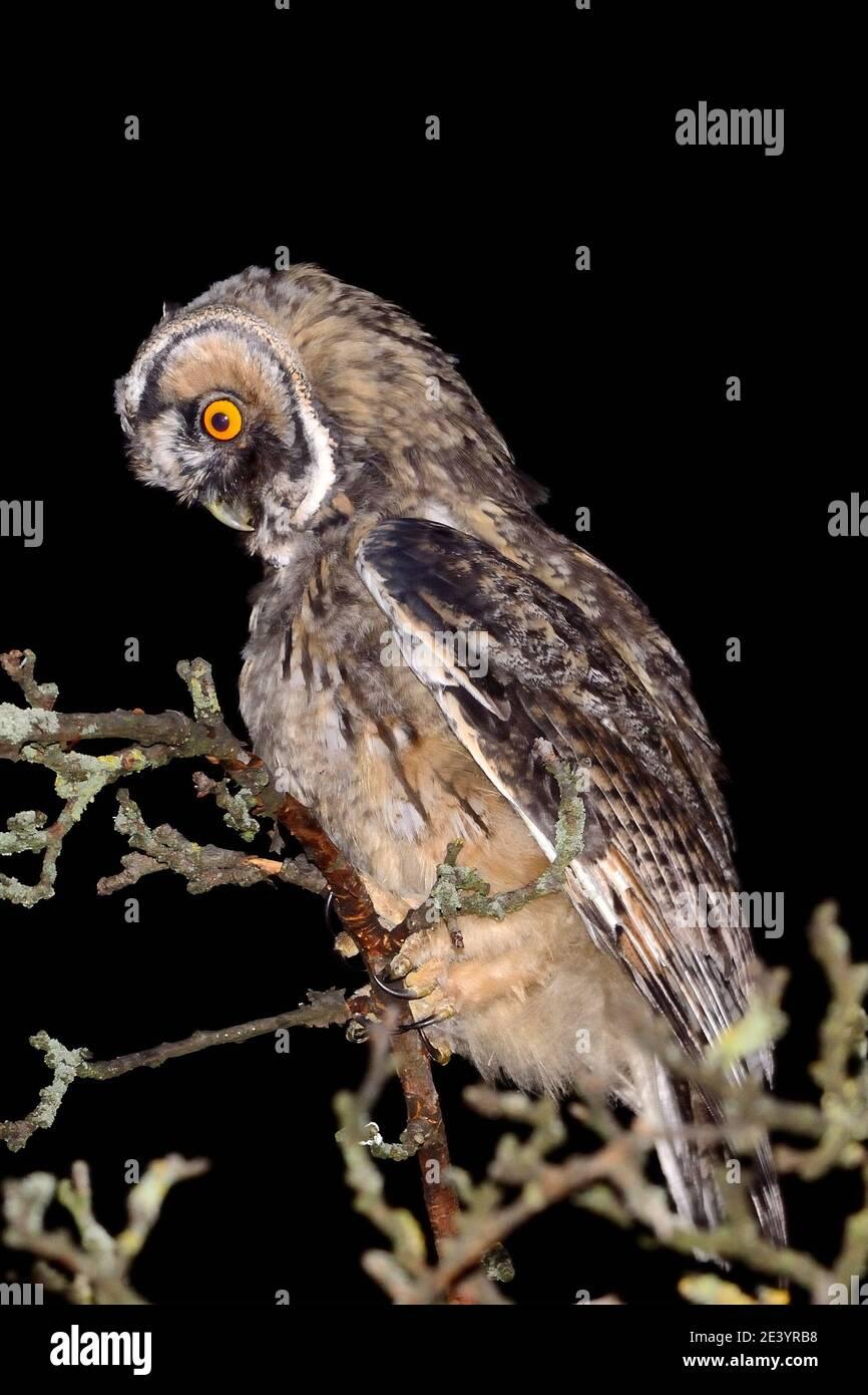 Asio otus, Waldohreule, long-eared owl Stock Photo