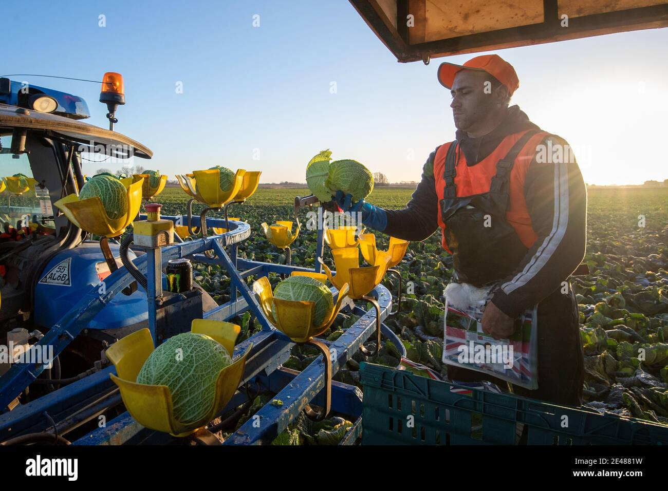 Workers harvest savoy cabbages at TH Clements near Boston in Lincolnshire. Picture date: Friday January 22, 2021. Stock Photo