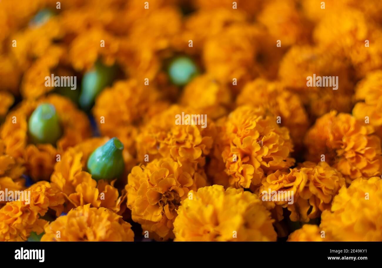 Plucked orange colored Marigold flowers Stock Photo