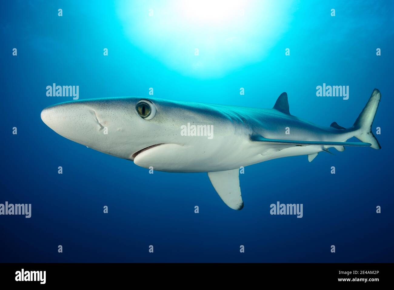 Blue shark (Prionace glauca), Cape of Good Hope, South Africa, offshore in the Atlantic Stock Photo