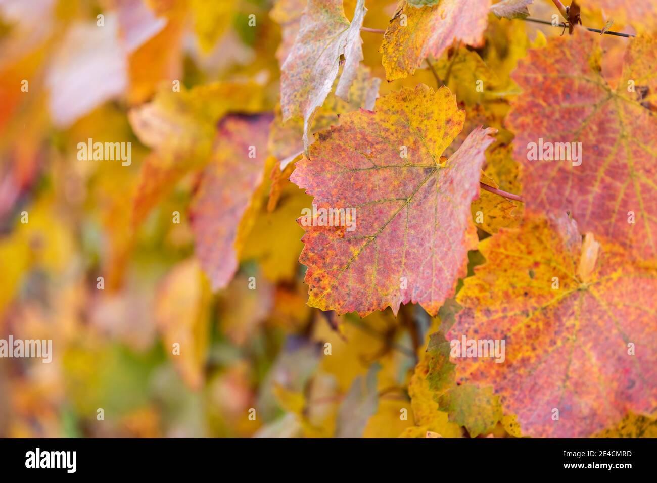Europe, Germany, Baden-Wuerttemberg, Stromberg Heuchelberg Nature Park, Hohenhaslach, vineyard, vine with autumn leaves Stock Photo