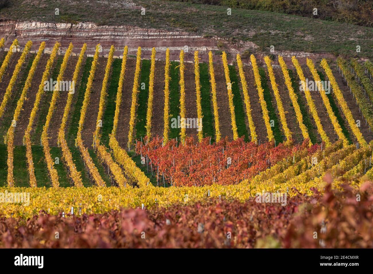 Europe, Germany, Baden-Wuerttemberg, Stromberg Heuchelberg Nature Park, Hohenhaslach, vineyard, autumn colors, Weitblickweg Stock Photo
