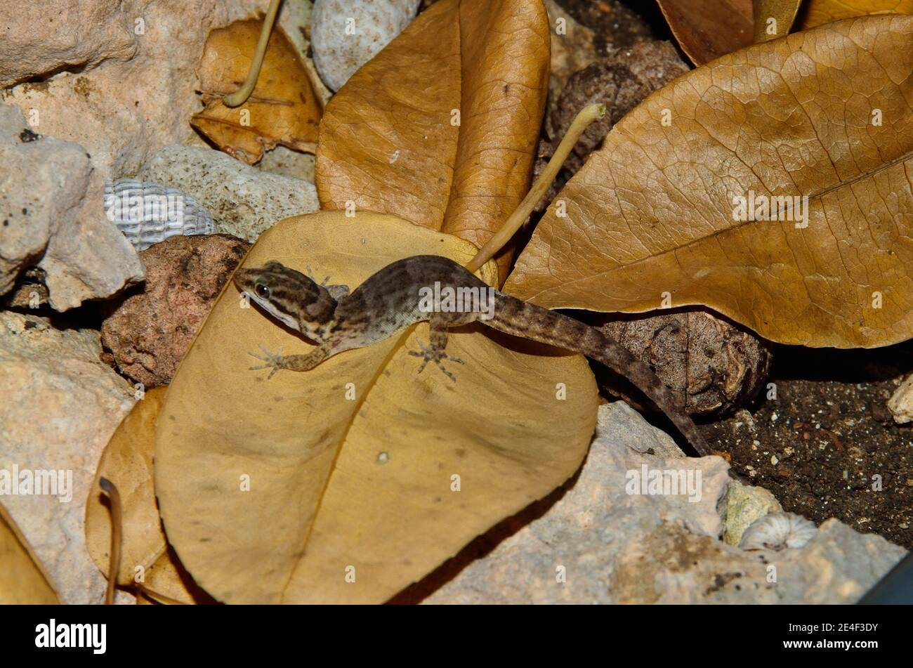 Gonatodes antillensis, antilles gecko, Antillen-Zwerggecko, female, Weibchen Stock Photo