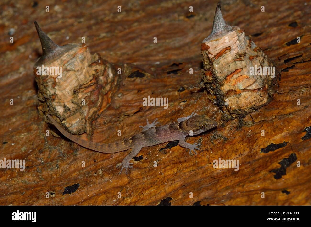 Gonatodes antillensis, antilles gecko, Antillen-Zwerggecko, juvenil, Jungtier Stock Photo