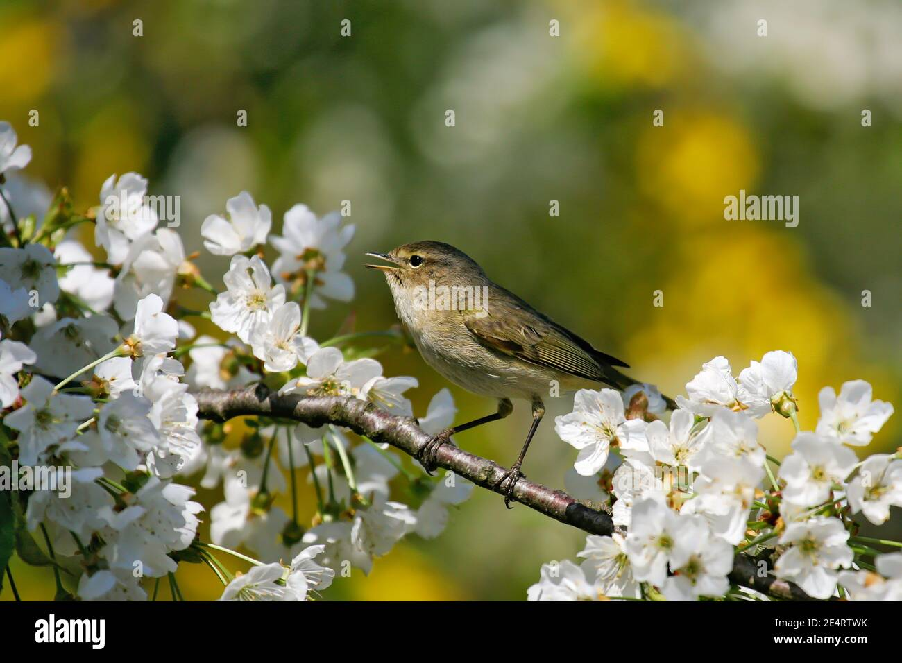 Common Chiffchaff (Phylloscopuscollybita) singing male sitting in blooming cherry tree, Germany Stock Photo