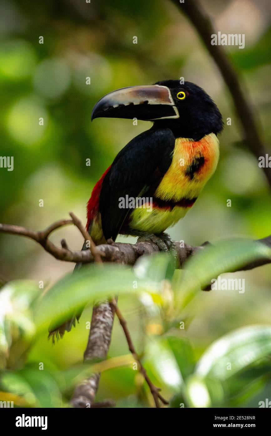A Collared Aracari (Pteroglossus torquatus) in Costa Rica Stock Photo