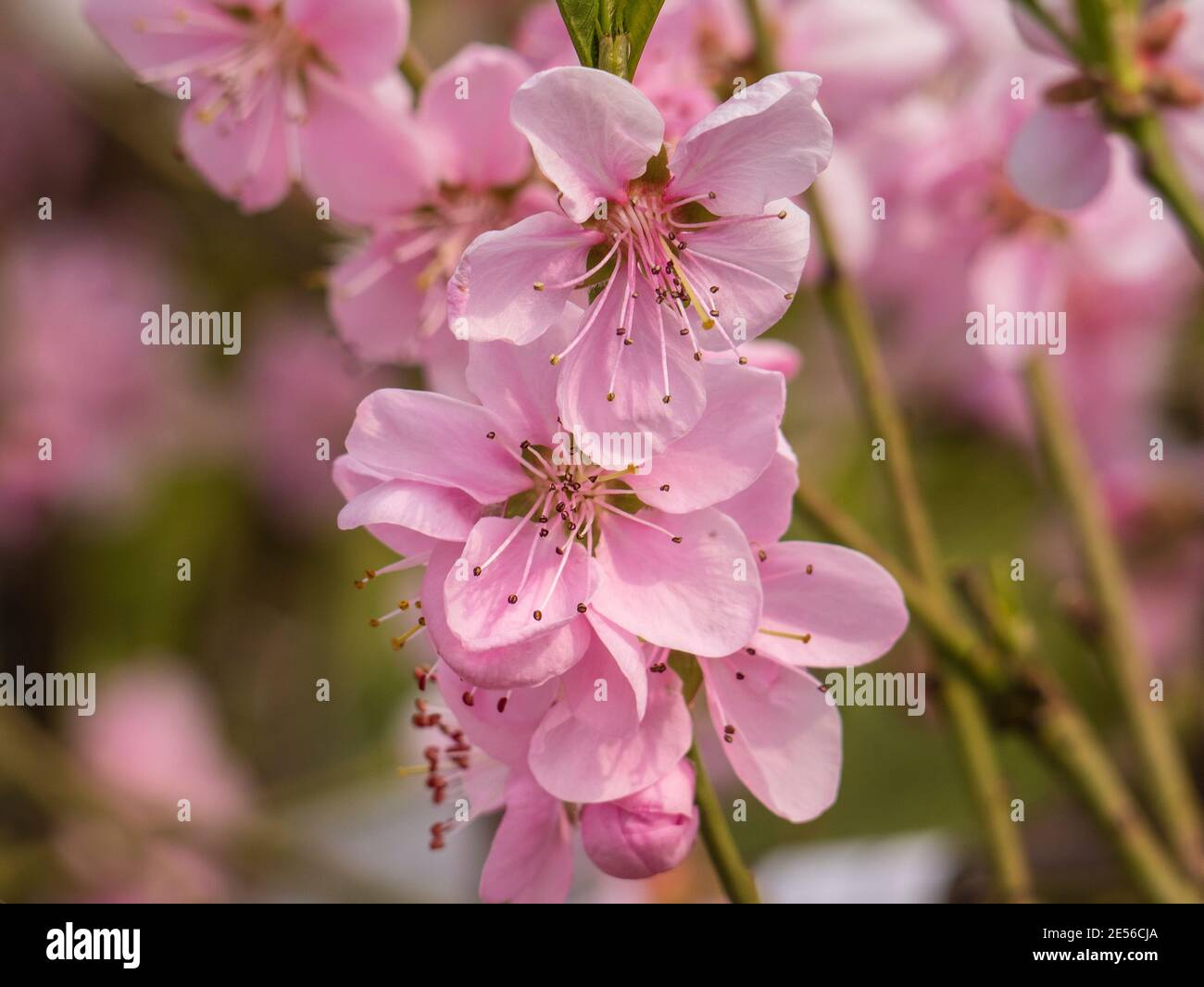 Peach Tree Spring High Resolution Stock Photography And Images Alamy