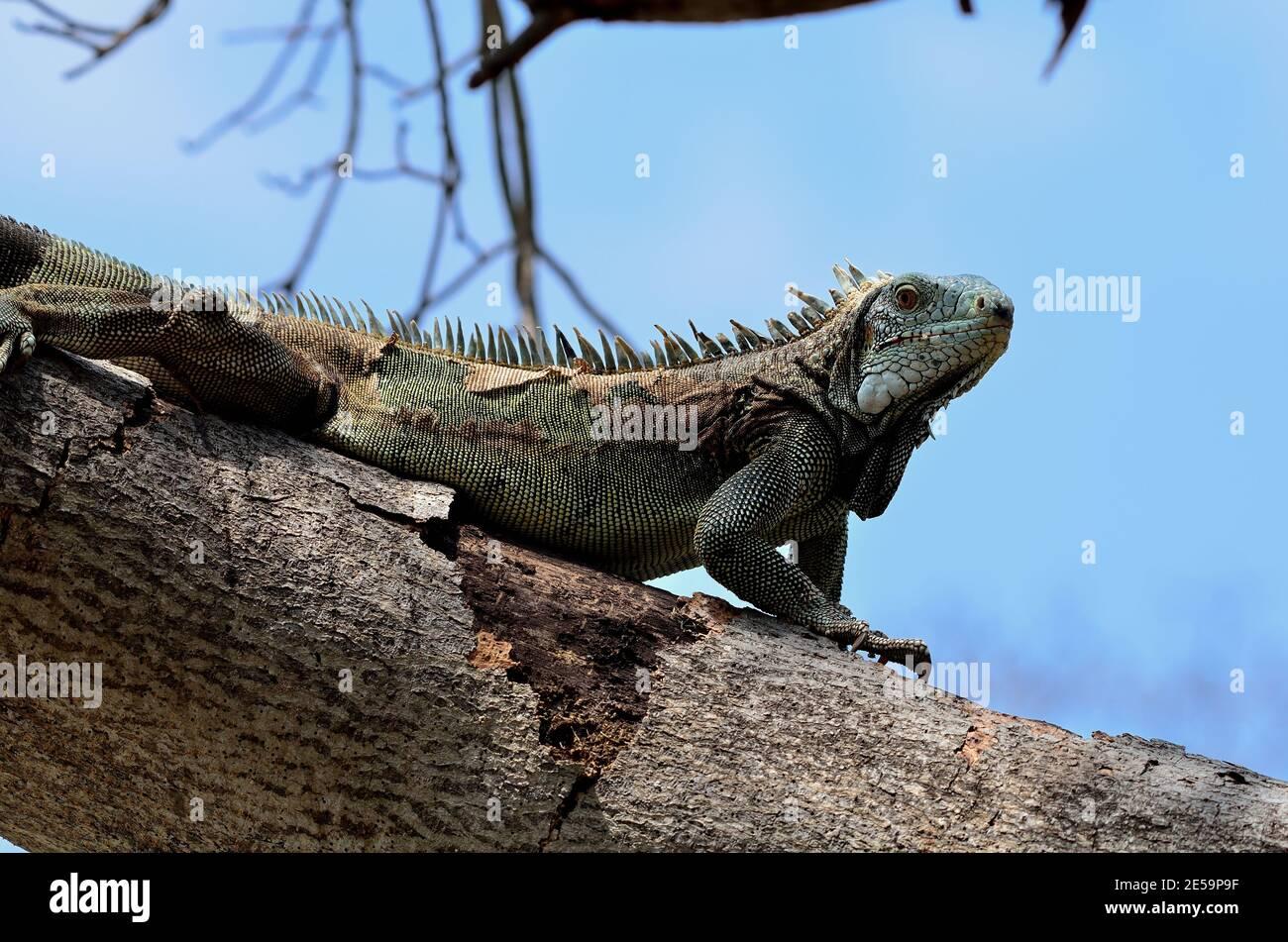 Iguana iguana, green iguana, Grüner Leguan Stock Photo