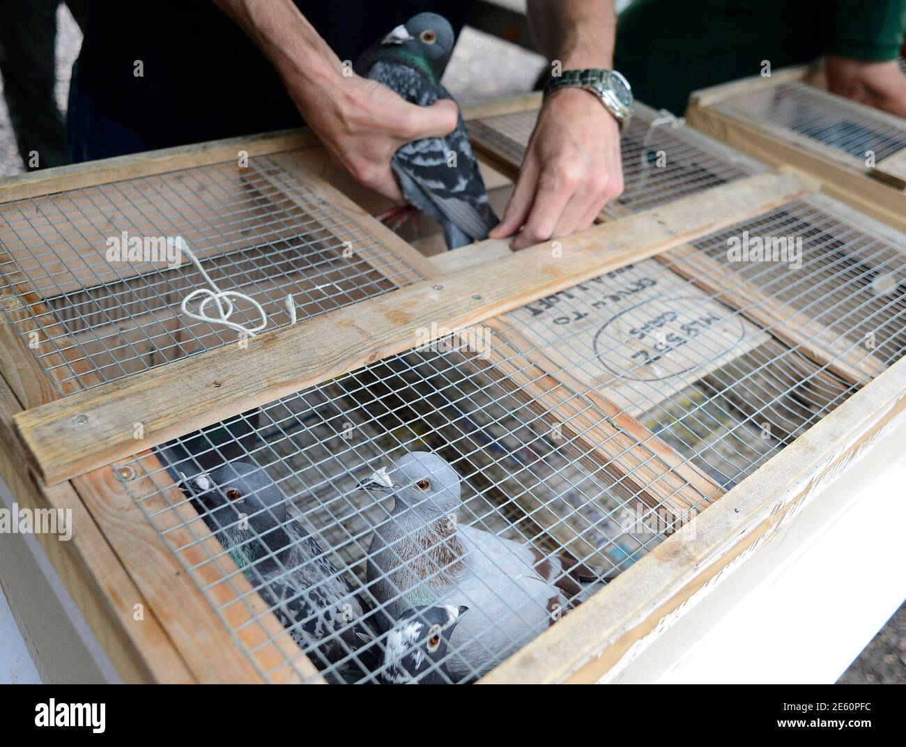 A Racing Pigeon Is Being Loaded For The One Loft Race At Birtsmorton Central England August