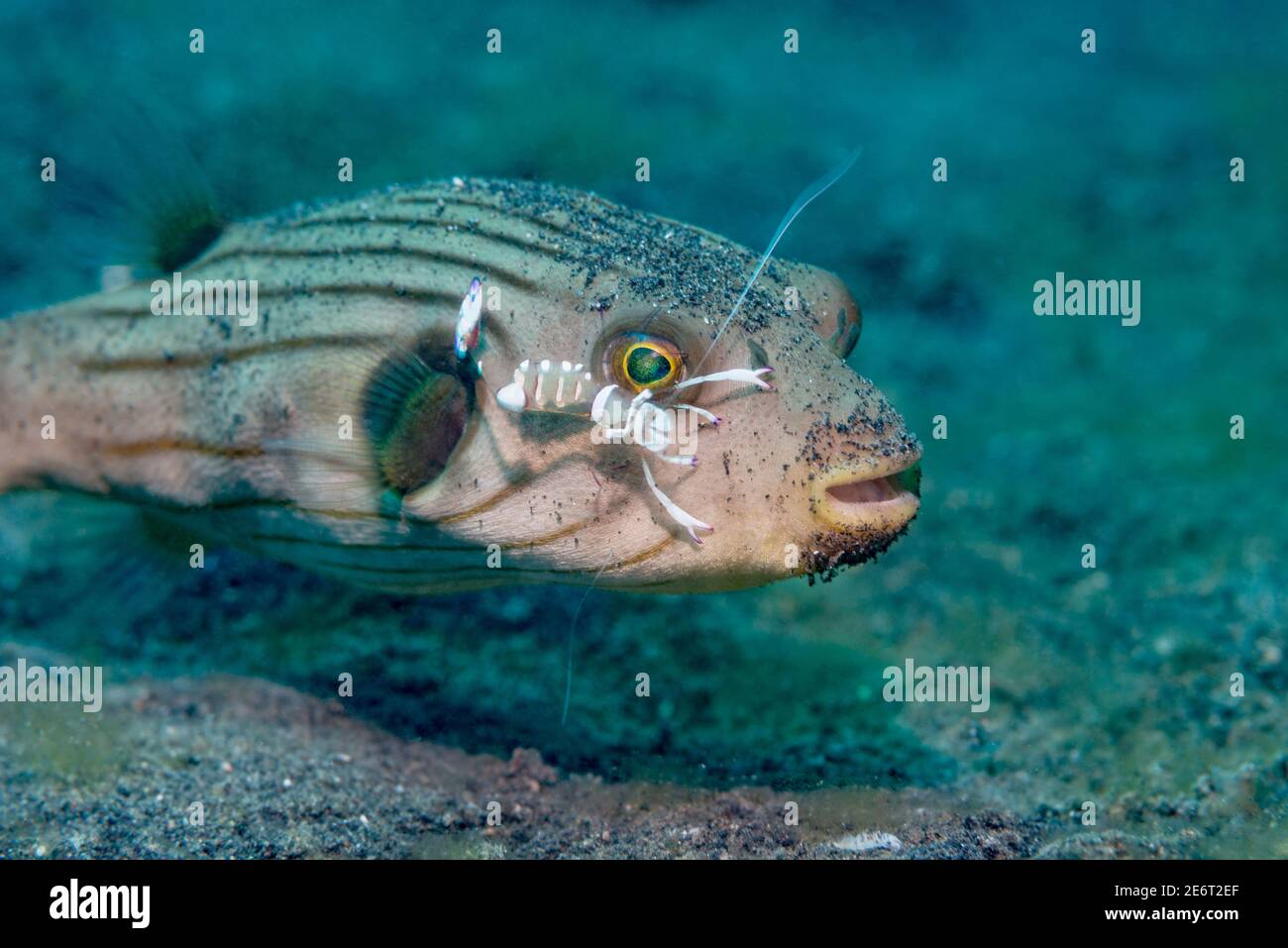 Striped puffer [Arothron manilenses] being cleaned by a Magnificent anemone shrimp [Ancylomenes magnificus].  Lembeh Strait, North Sulawesi, Indonesia Stock Photo