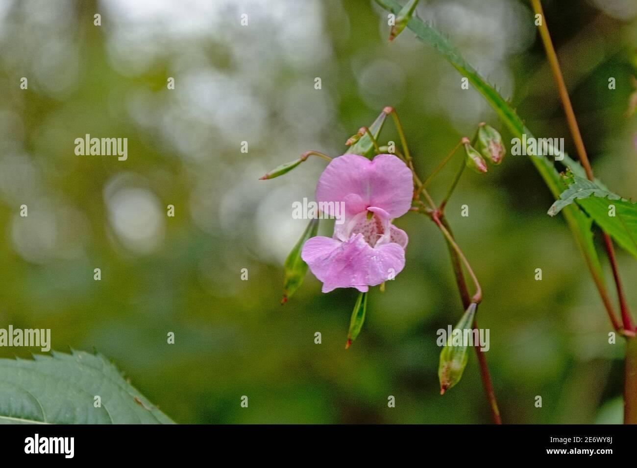 Bright pink Himalayan Balsam flower - Impatiens glandulifera Stock Photo