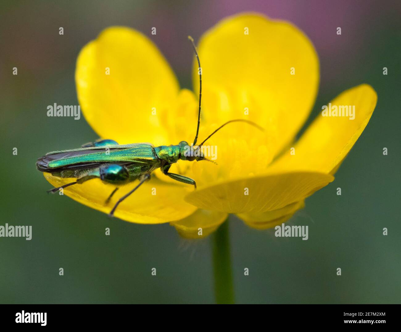 Thick-legged Flower Beetle (Oedemera nobilis) on buttercup in garden, West Sussex, UK. June Stock Photo