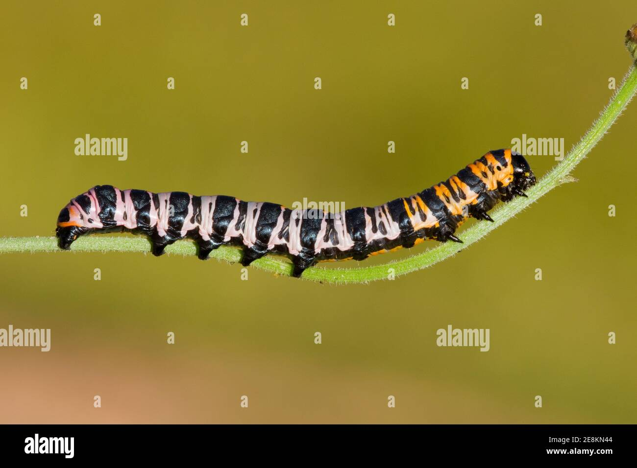 Noctuid Moth larva, Cucullia lilacina, Noctuidae. Length 38 mm. Feeding on fleabane, Erigeron sp. Previous larva images 14080973-14080982 on 8-23-14. Stock Photo