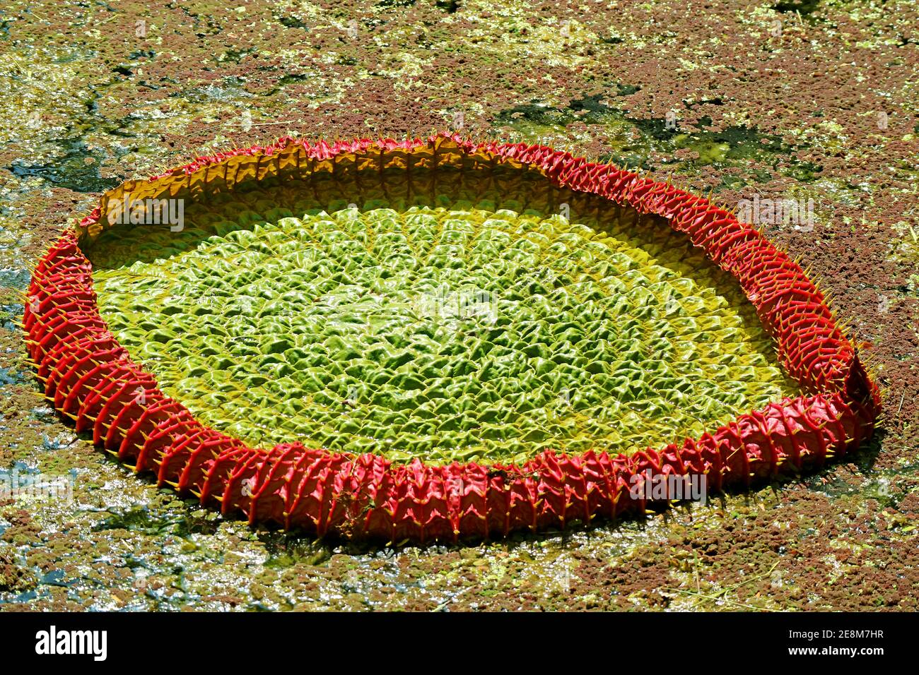 Amazing Immature Water Lily Pad of Victoria Amazonica in the Pond Stock Photo