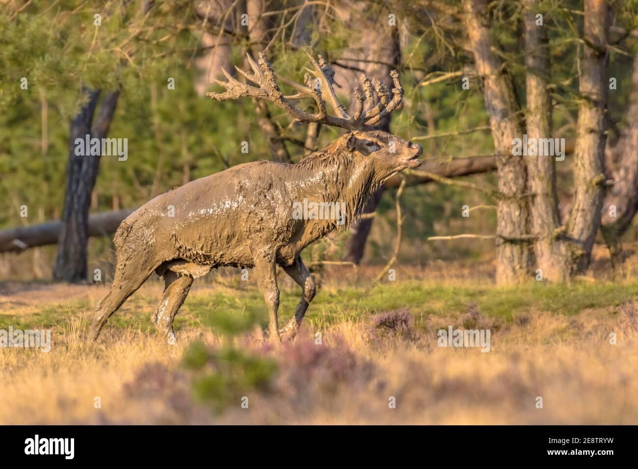 Male Red deer (Cervus elaphus) stag during rutting season in autumn, Veluwe, Netherlands. Wildlife scene of nature in Europe. Stock Photo