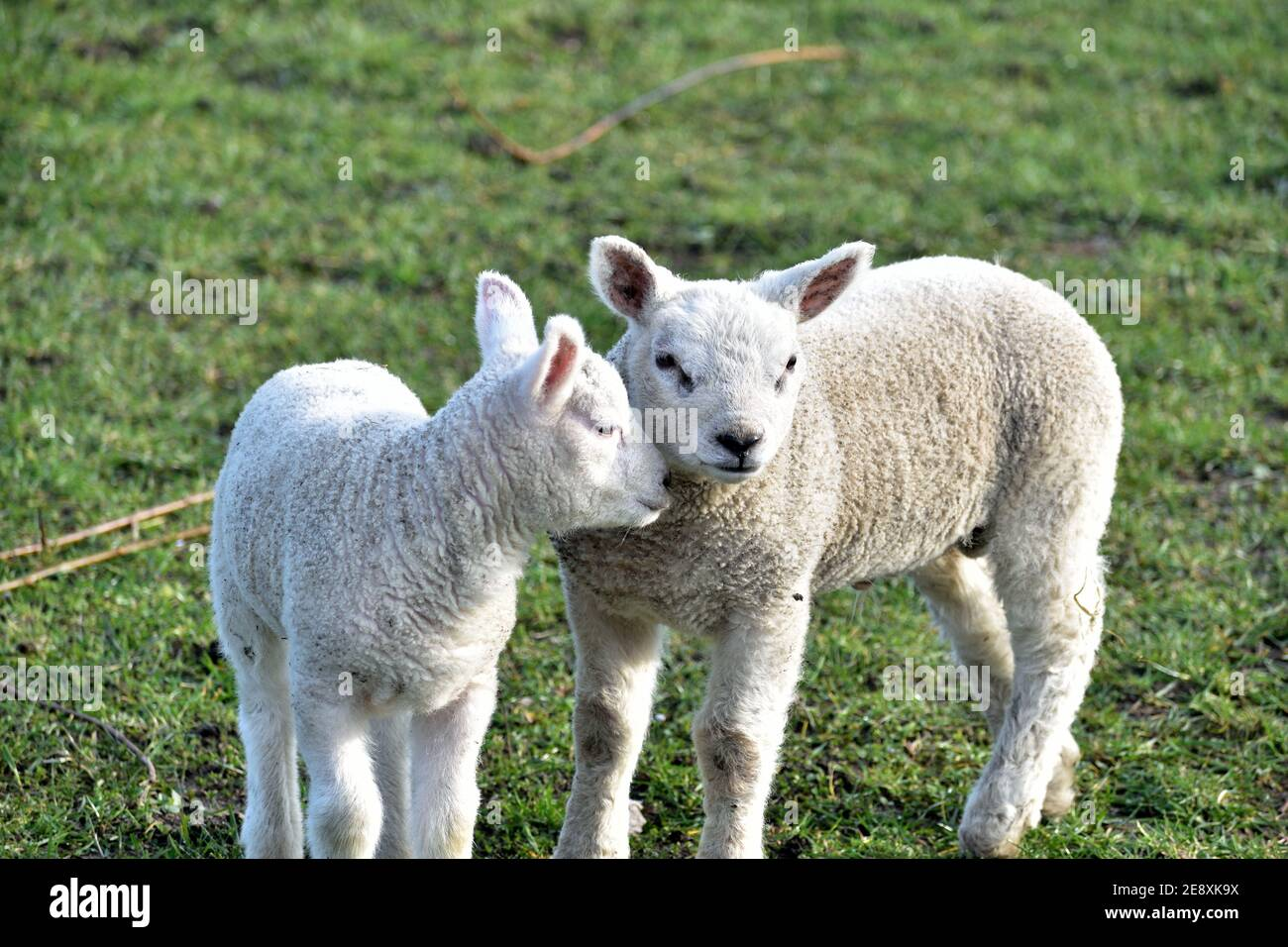 Close up of a pair of cute young lambs in the winter sunshine Stock Photo