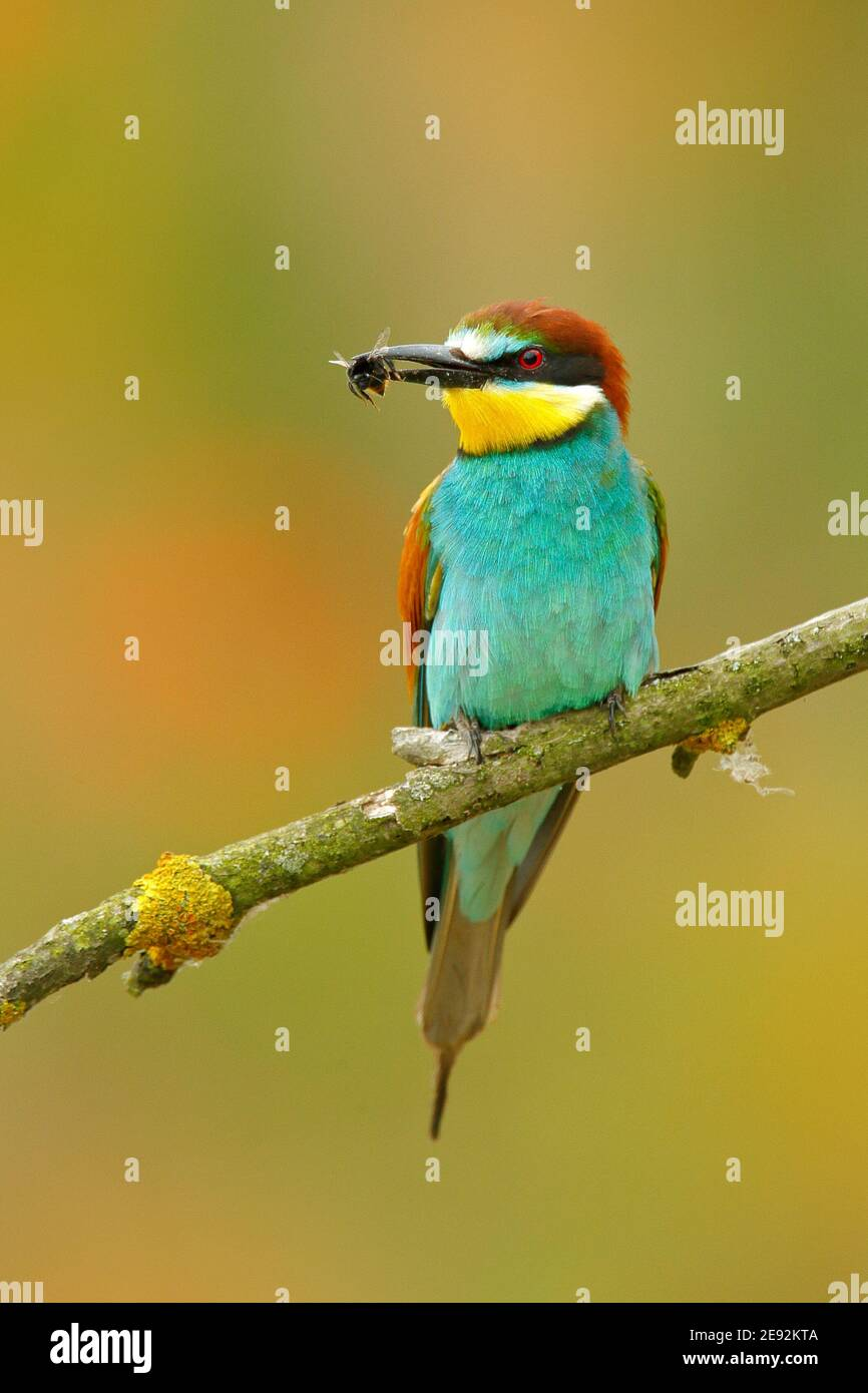 European Bee-eater, Merops apiaster, beautiful bird sitting on the branch with dragonfly in the bill. Action bird scene in the nature habitat, Hungary Stock Photo