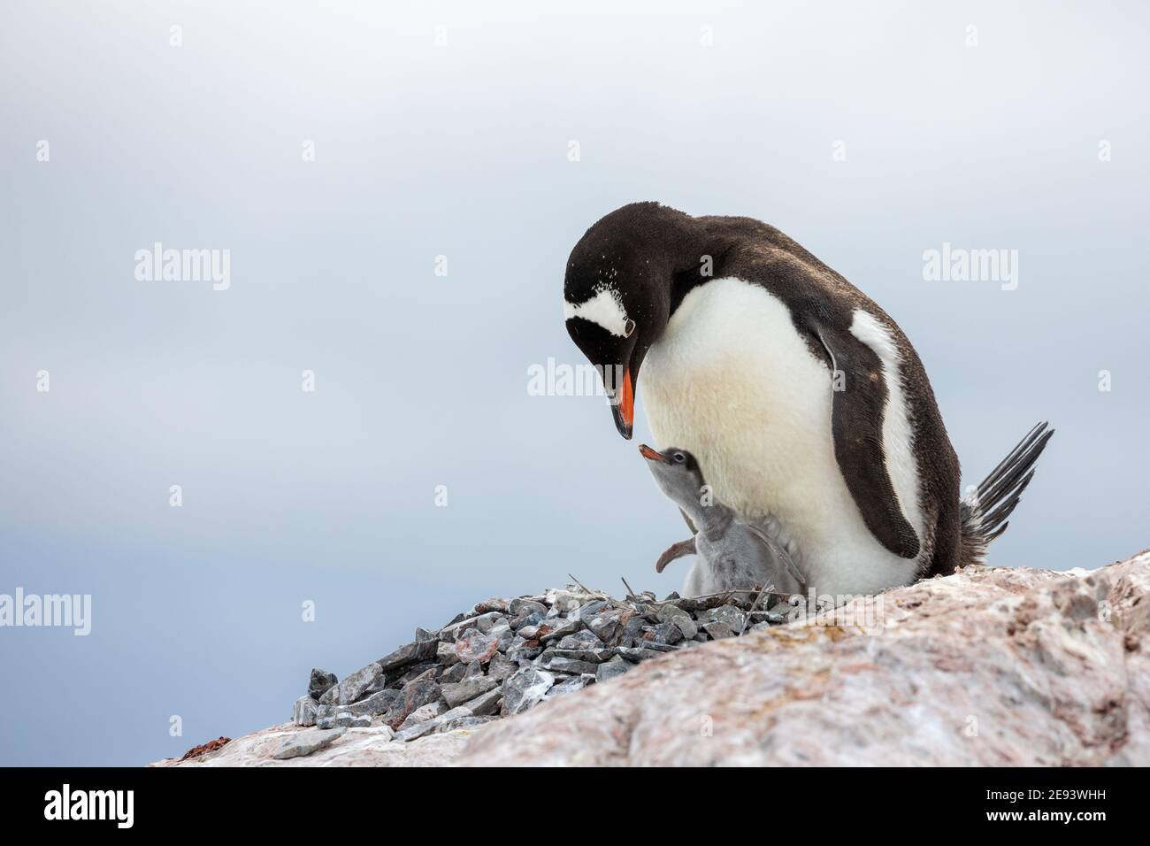 A cute gentoo penguin is about to feed its chick on a rock in a nest of stones Stock Photo
