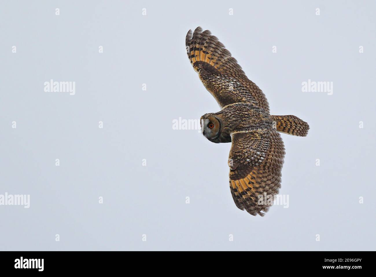 Long-eared Owl (Asio otus) flying over water, Baltic Sea, Mecklenburg-Western Pomerania, Germany Stock Photo