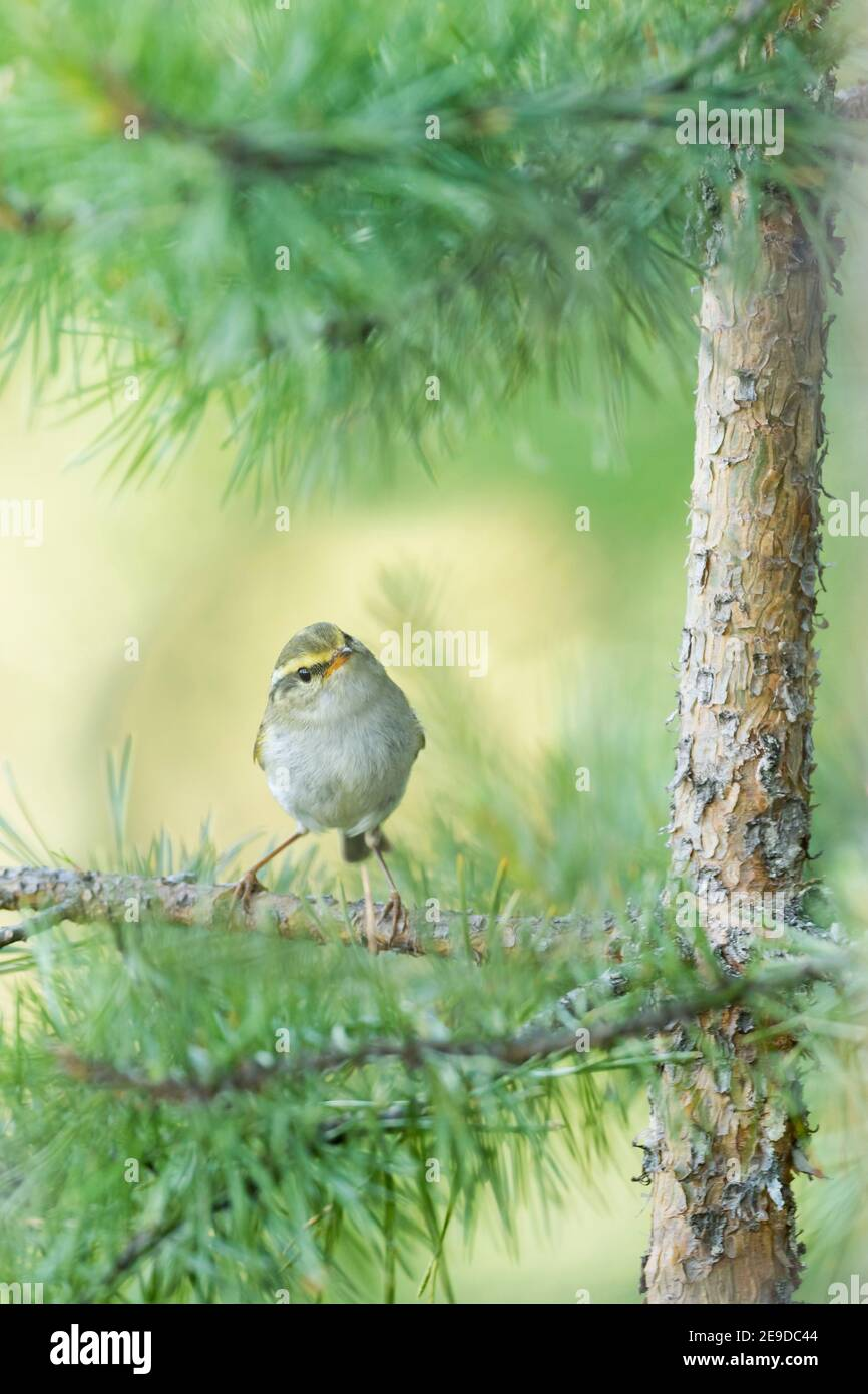 Pallas' leaf warbler, Pallas's leaf warbler, Pallas's warbler  (Phylloscopus proregulus), perching on a branch in a tree, front view, Russia, Baikal Stock Photo
