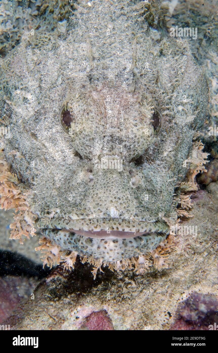 Tasseled Scorpionfish (Scorpaenopsis oxycephala), Post 1 dive site, Menjangan Island, Bali, Indonesia. Stock Photo