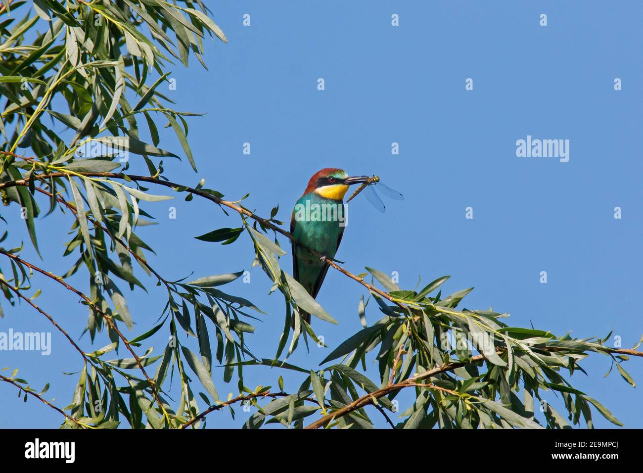 European bee-eater (Merops apiaster) perched in tree with caught dragonfly prey in beak Stock Photo