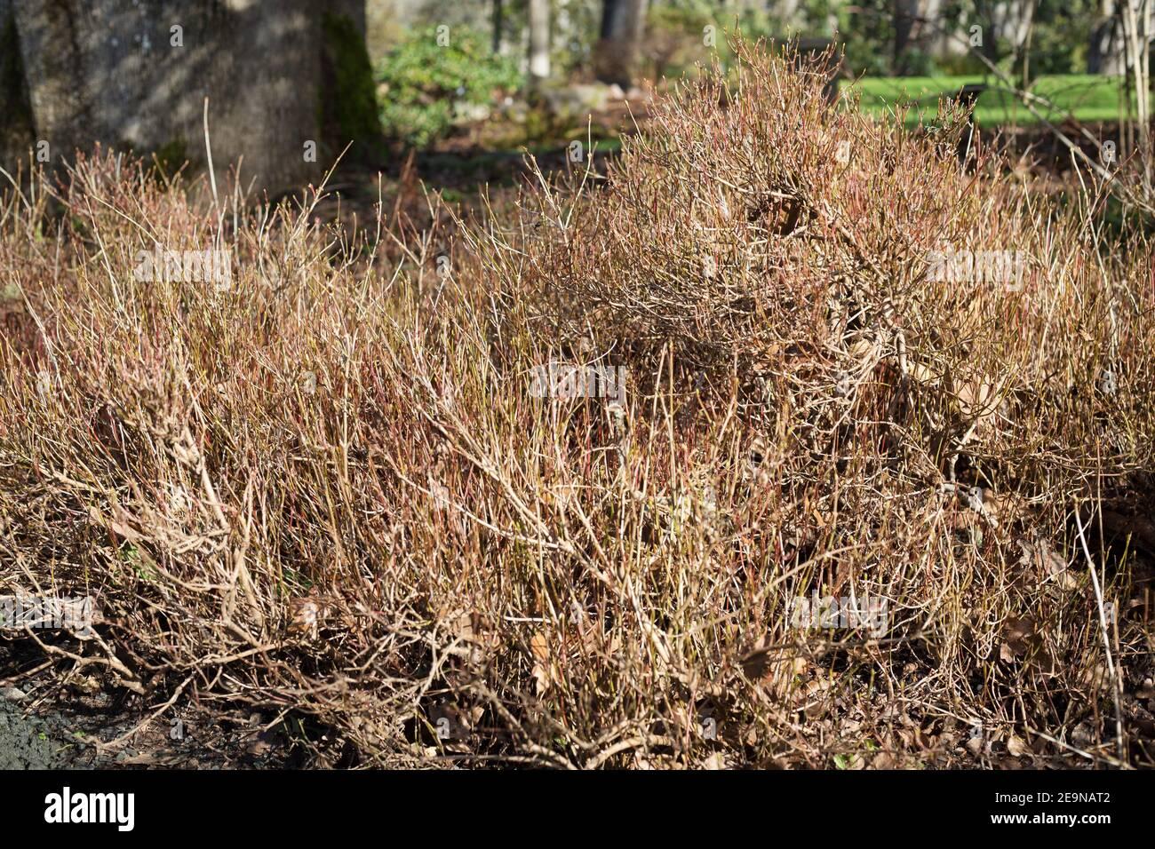 viburnum opulus nanum in winter 2E9NAT2