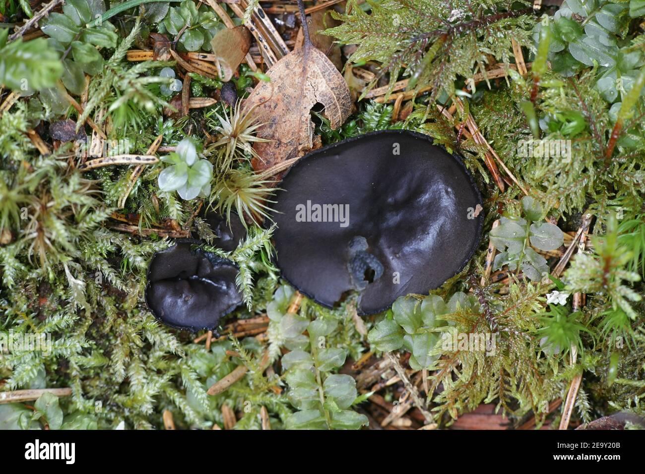 Ebony hairy Thick Black